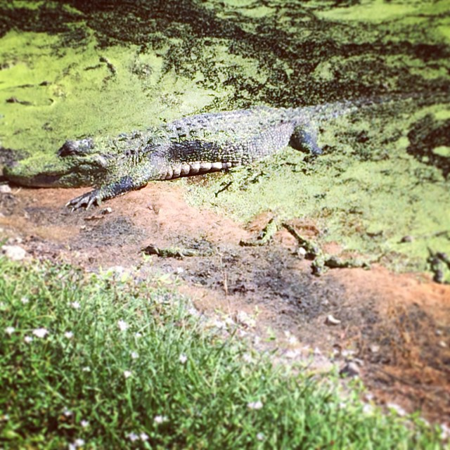 Mama gator and her babies